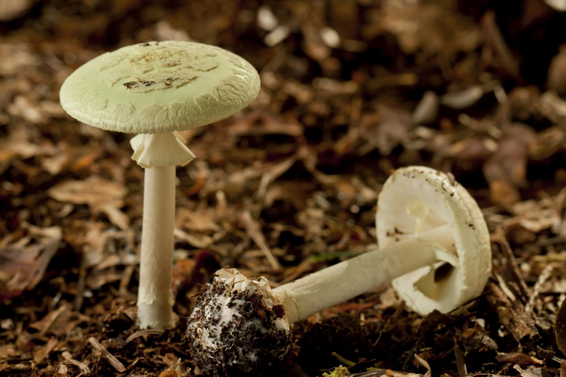 """O Amanita phalloides, conhecido em português como """"cicuta verde"""" e em inglês como """"death cap""""."""