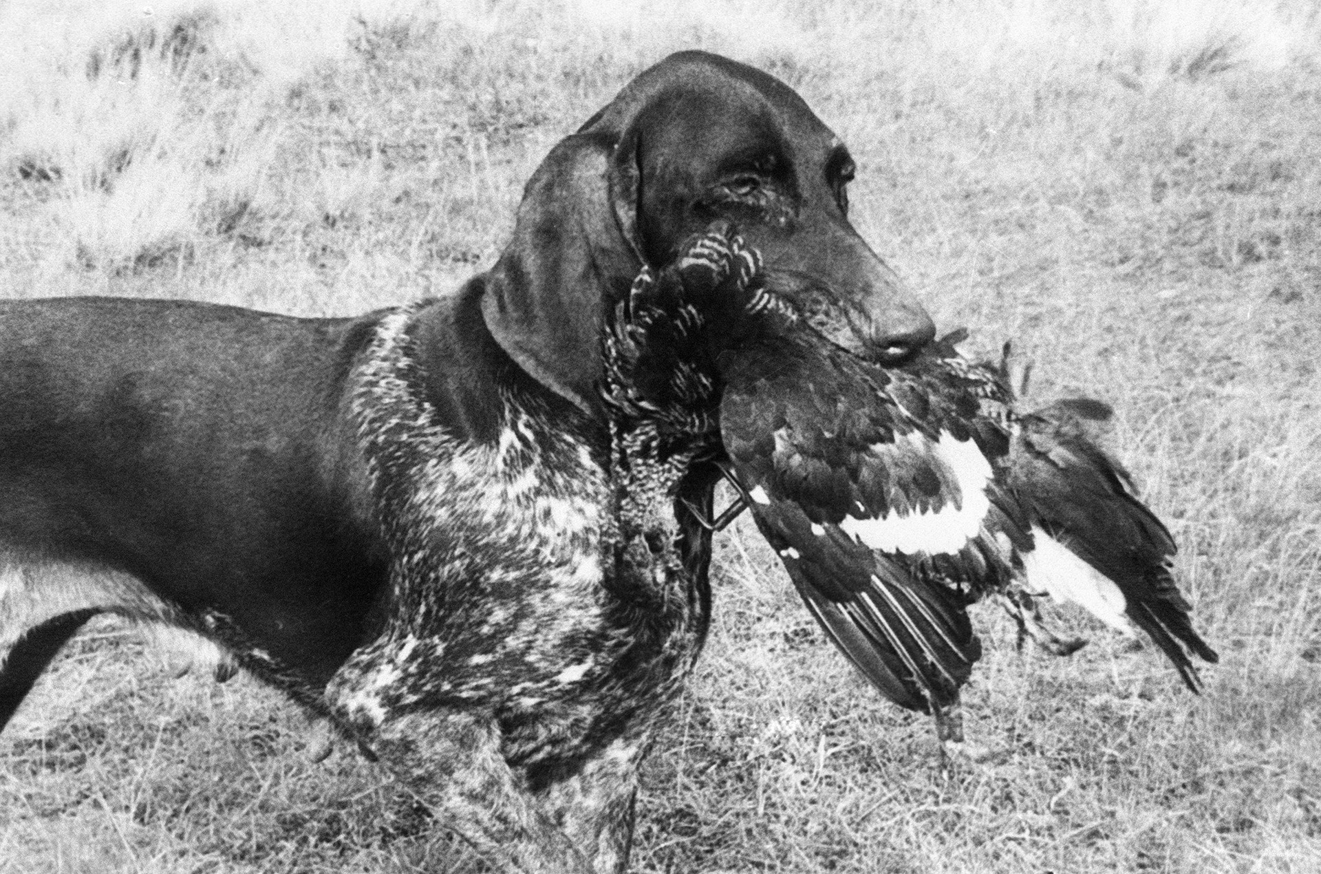 Njemački kratkodlaki ptičar u zubima nosi odstrijeljenu pticu na 24. moskovskoj izložbi lovačkih pasa.