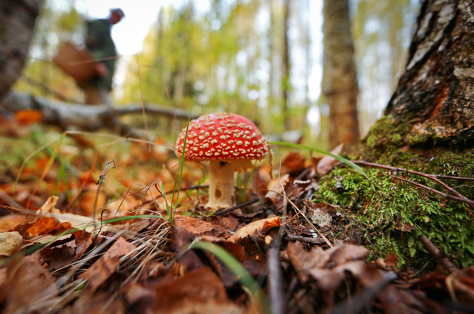 Fly agaric, one of the most poisonous kinds of mushrooms in Russia. Do not eat it!