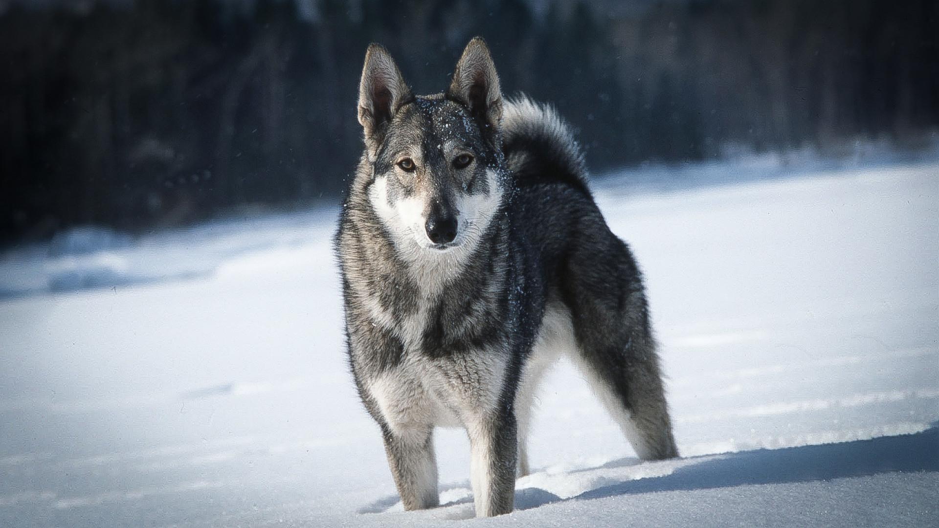 Um cão da raça laika.