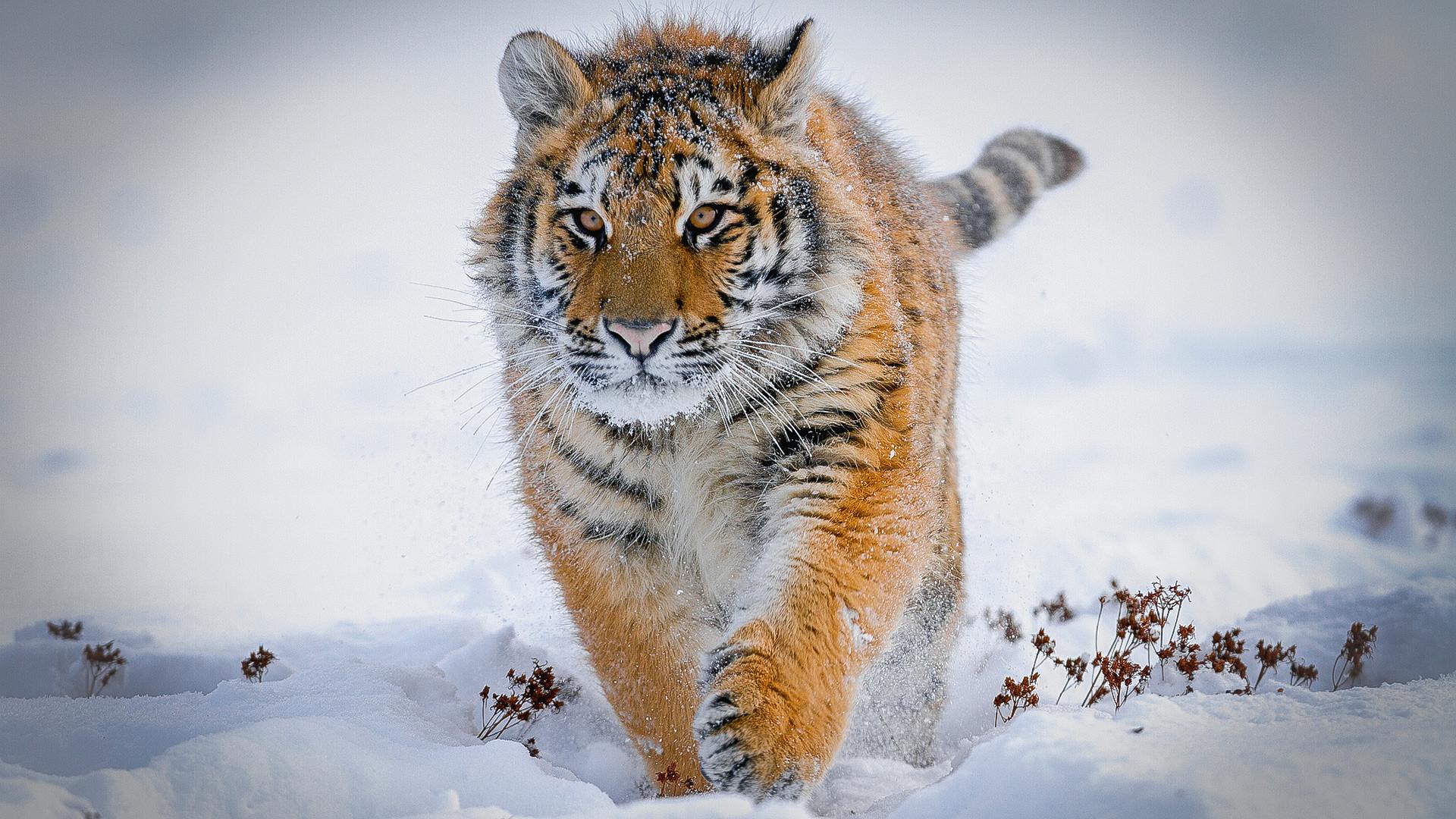 63 Gambar Hewan Rubah Arktik Gratis Terbaik