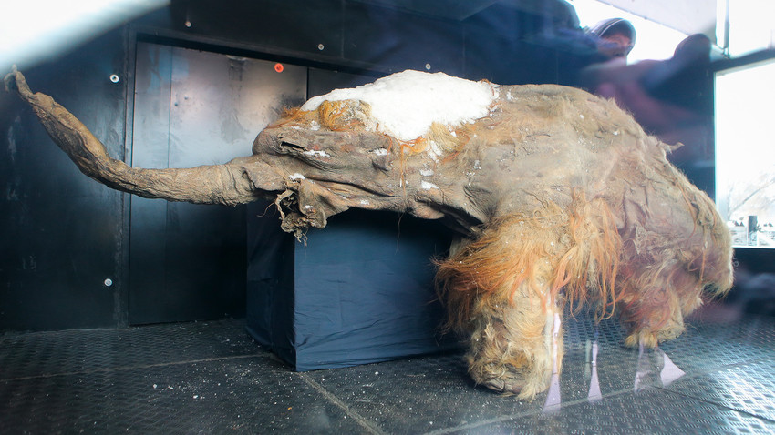 サハ共和国(ヤクーチア)で発見された若いマンモス「ユカ」