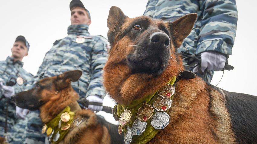 Службени кучиња на спортскиот празник на московската полиција кој се одржува секоја година.