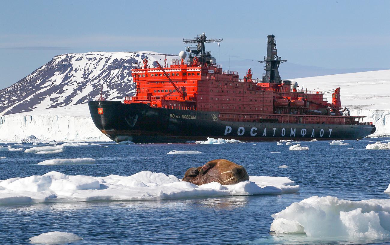 A walrus on an ice floe off the shore of an island of the Franz Josef Land archipelago.