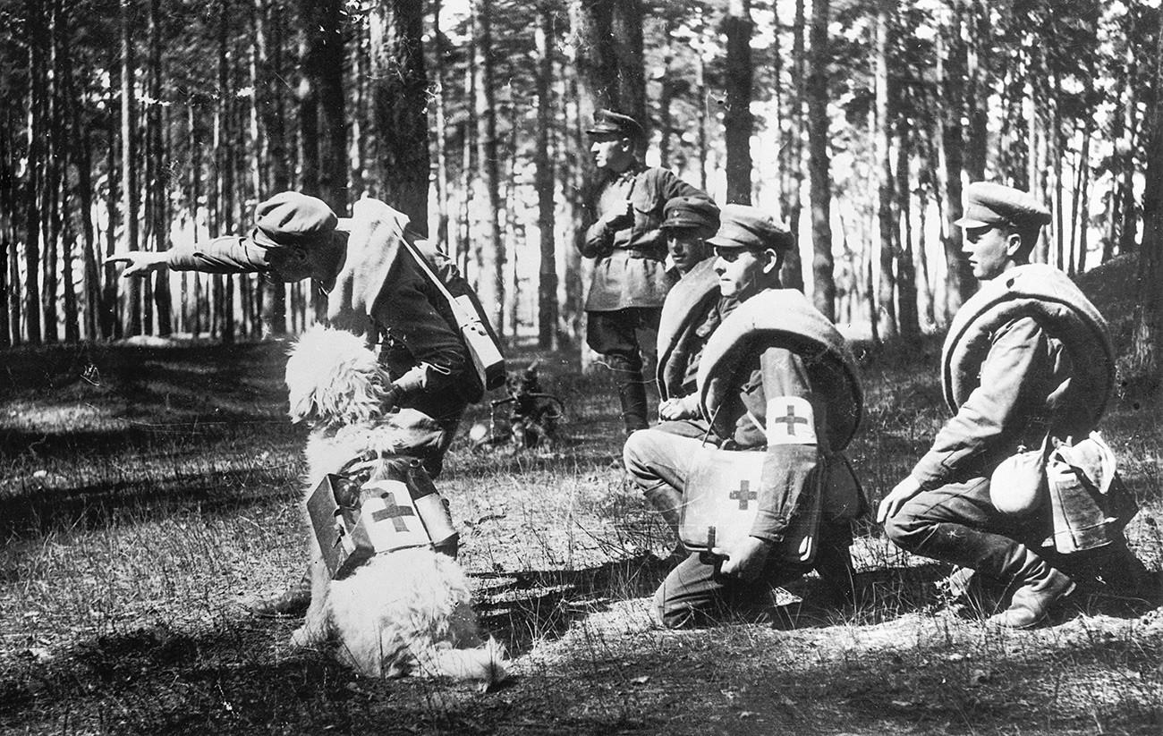 Во воената школа во Подмосковје кучињата се обучуваат да им помагаат на болничарите во пронаоѓањето и во извлекувањето на ранетите од борбените положби.