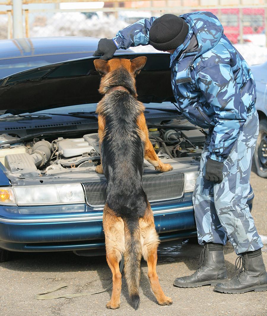 Кинолог со службено куче на натпревар за откривање наркотици во лесни транспортни возила на шампионатот на Сибирската царинска управа во различни кинолошки дисциплини.