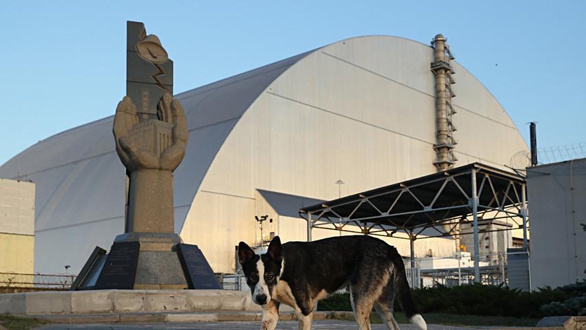 Куче-скитник пред новиот објект со кој е покриен реакторот бр. 4 во Чернобилската АЦ. 18 август 2017. Во зоната на отуѓување има околу 900 кучиња-скитници. Ветеринарите и стручњаците за радијација врз нив вршат истражувања. Кучињата носат ремени со предајници за регистрирање на нивото на радијација.