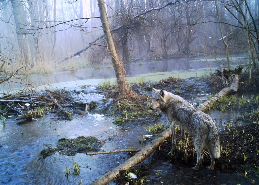 Seekor serigala di hutan liar di Chernobyl, Ukraina, April 2012.