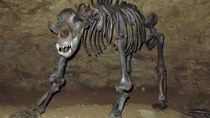 Костур пећинског медведа