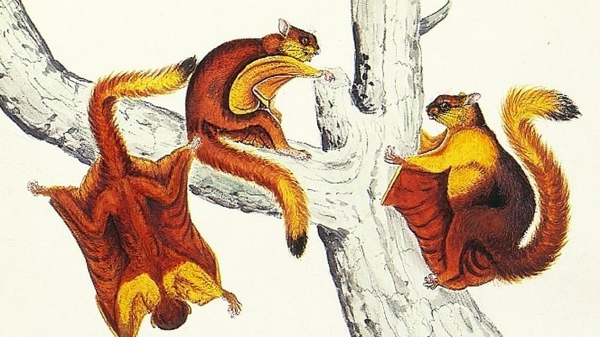 Ilustração de Petaurista magnificus, espécie similar à encontrada no Extremo Oriente.