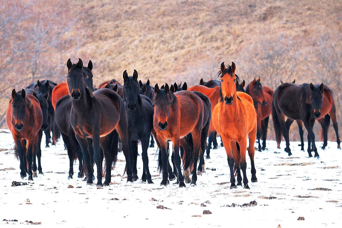 Sprehajajoči se konji na območju vasi Krasnij Kurgan.