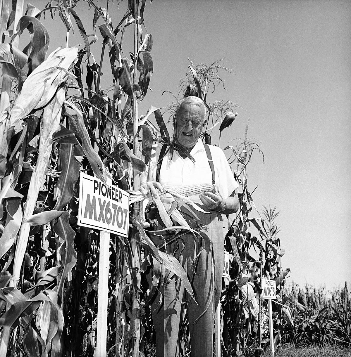 Roswell Garst examine un épi de maïs sur sa parcelle expérimentale à sa ferme de Coon Rapids, Iowa, le 9 septembre 1959.