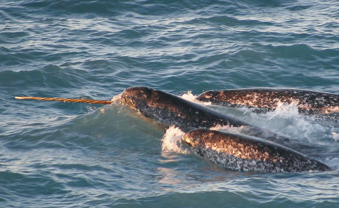 Narval (Monodon monoceros) é uma baleia dentada de tamanho médio