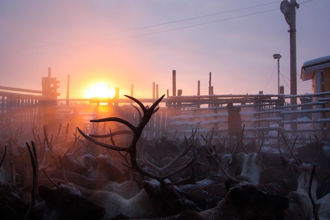 Éleveur de rennes à Lovozero