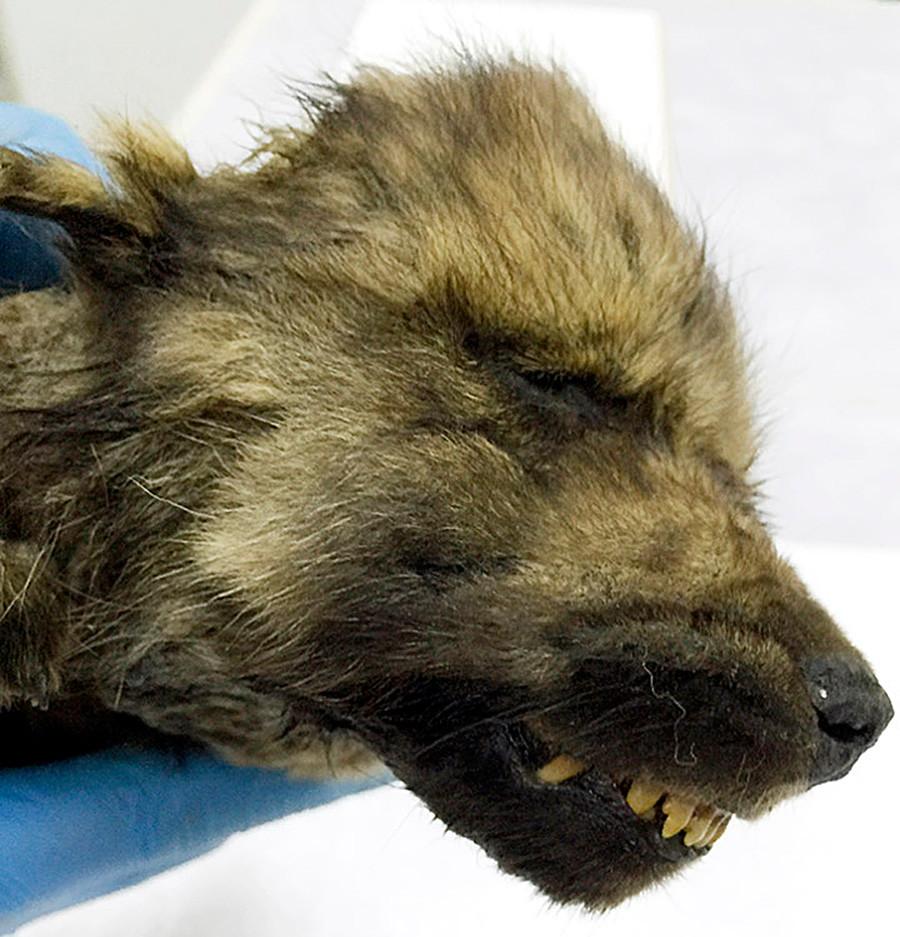 18000-year-old frozen puppy found in Siberia