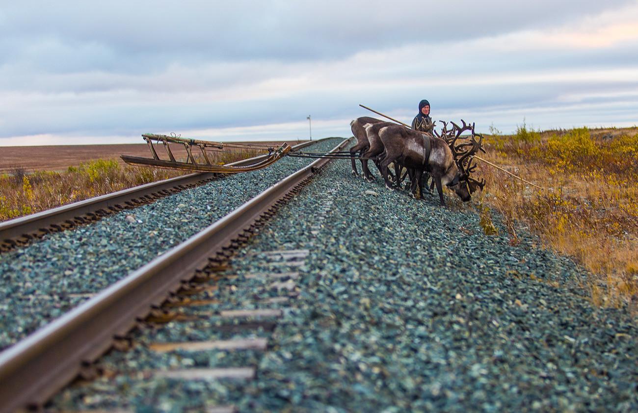 La saison pour le traîneau à rennes est sur le point de commencer. Péninsule de Iamal, village de Laborovaïa