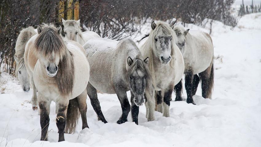 Якутские лошади были первыми животными, завезенными в Плейстоценовый Парк еще в 1996 году.