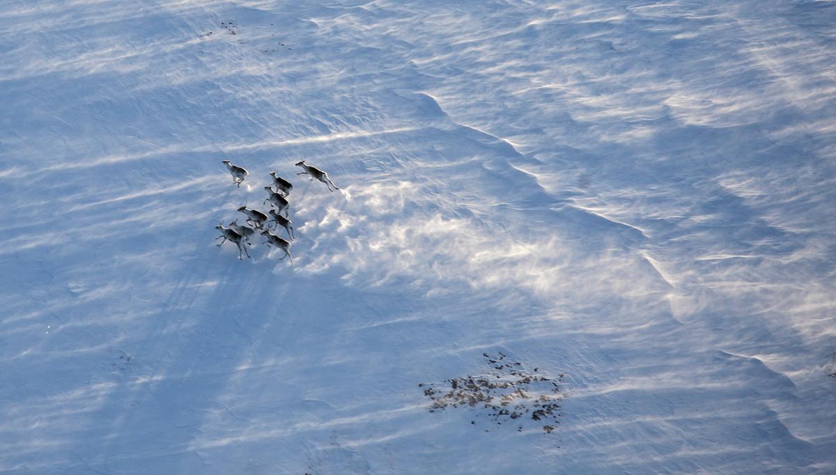 Стадо елени в зимната тундра