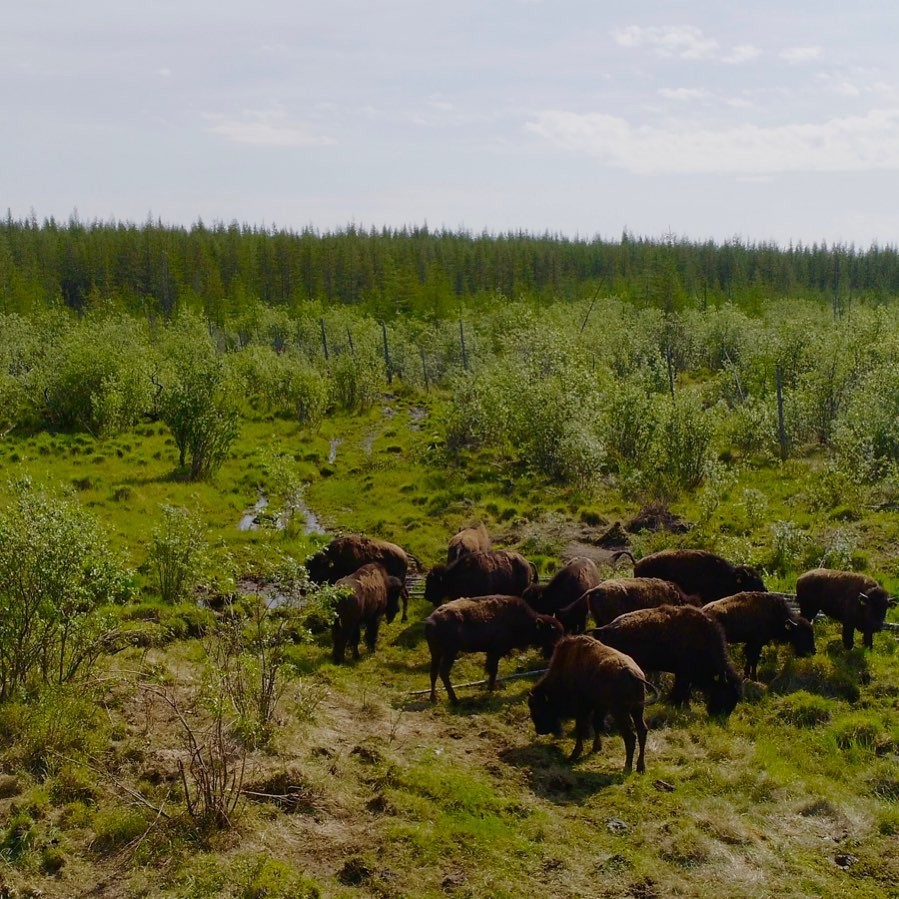 Bizoni v parku