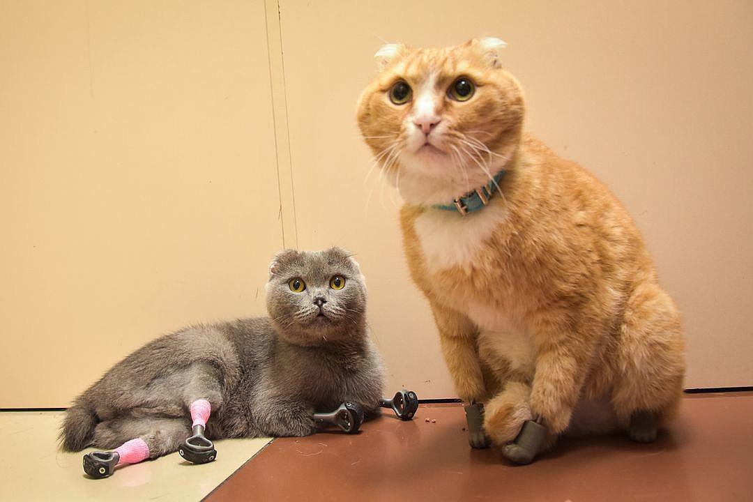 Dimka posa com Rijik, o primeiro gato com as quatro patas impressas em 3D em Novossibírsk.