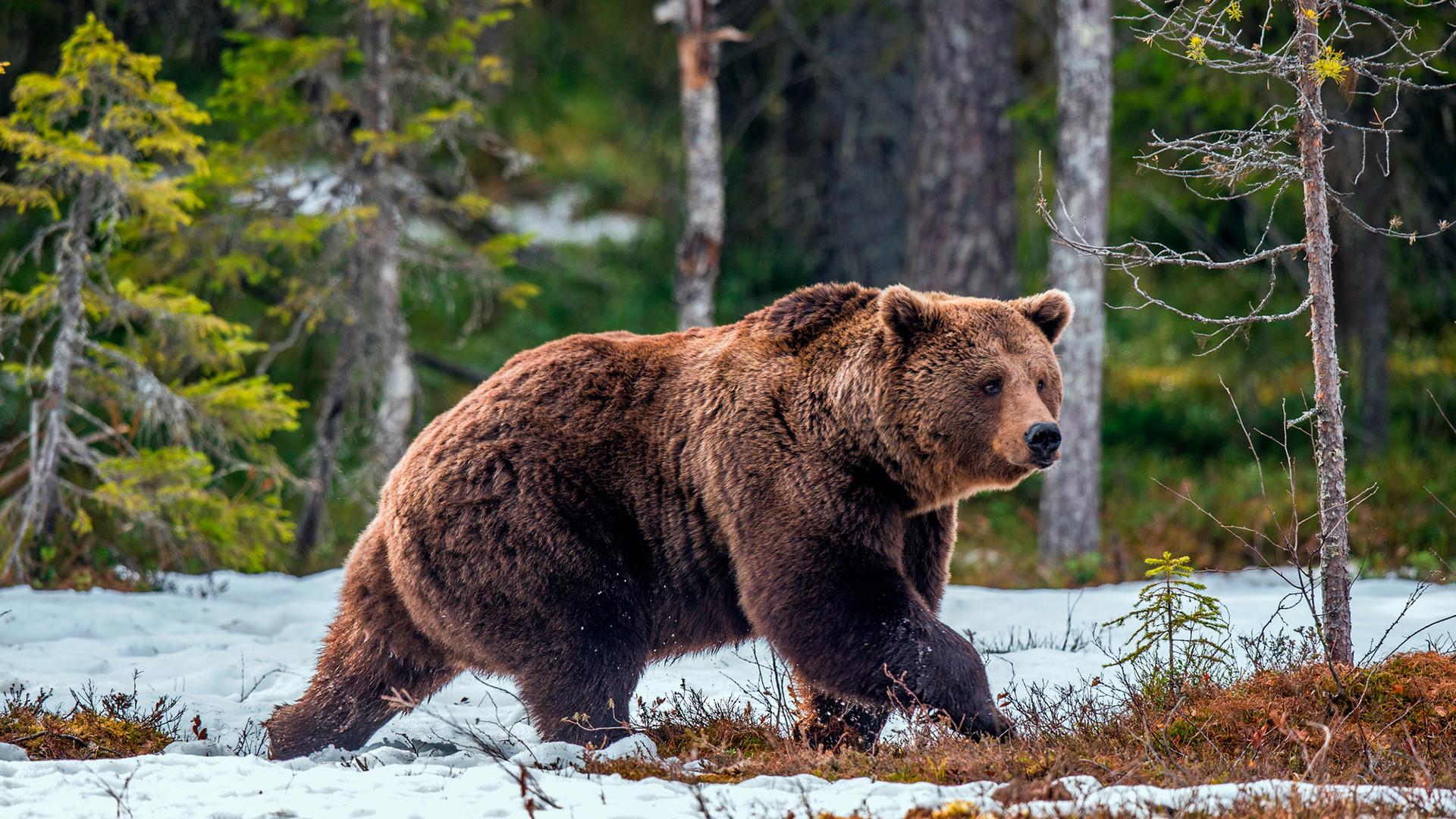 Европски мрки медвед у дивљини током пролећа.
