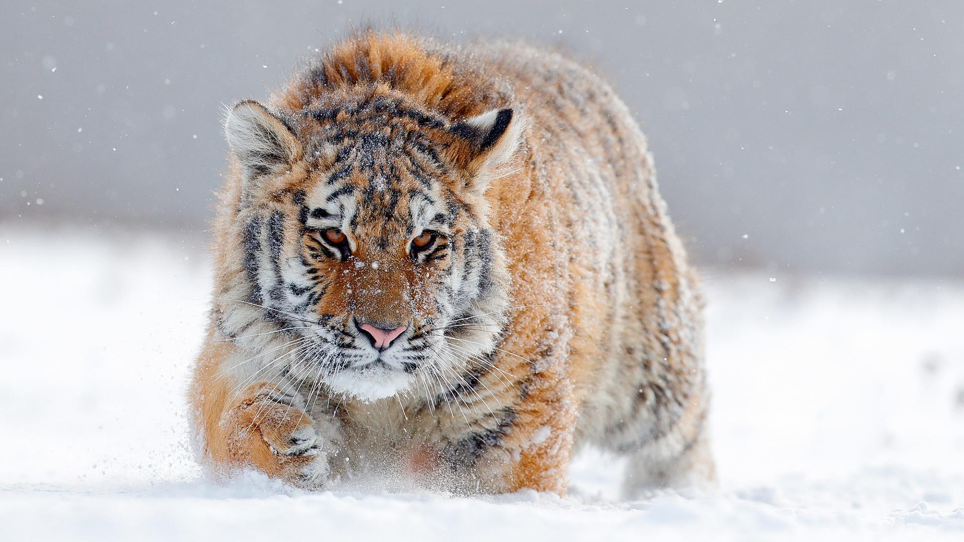 Сибирски тигар у снегу.