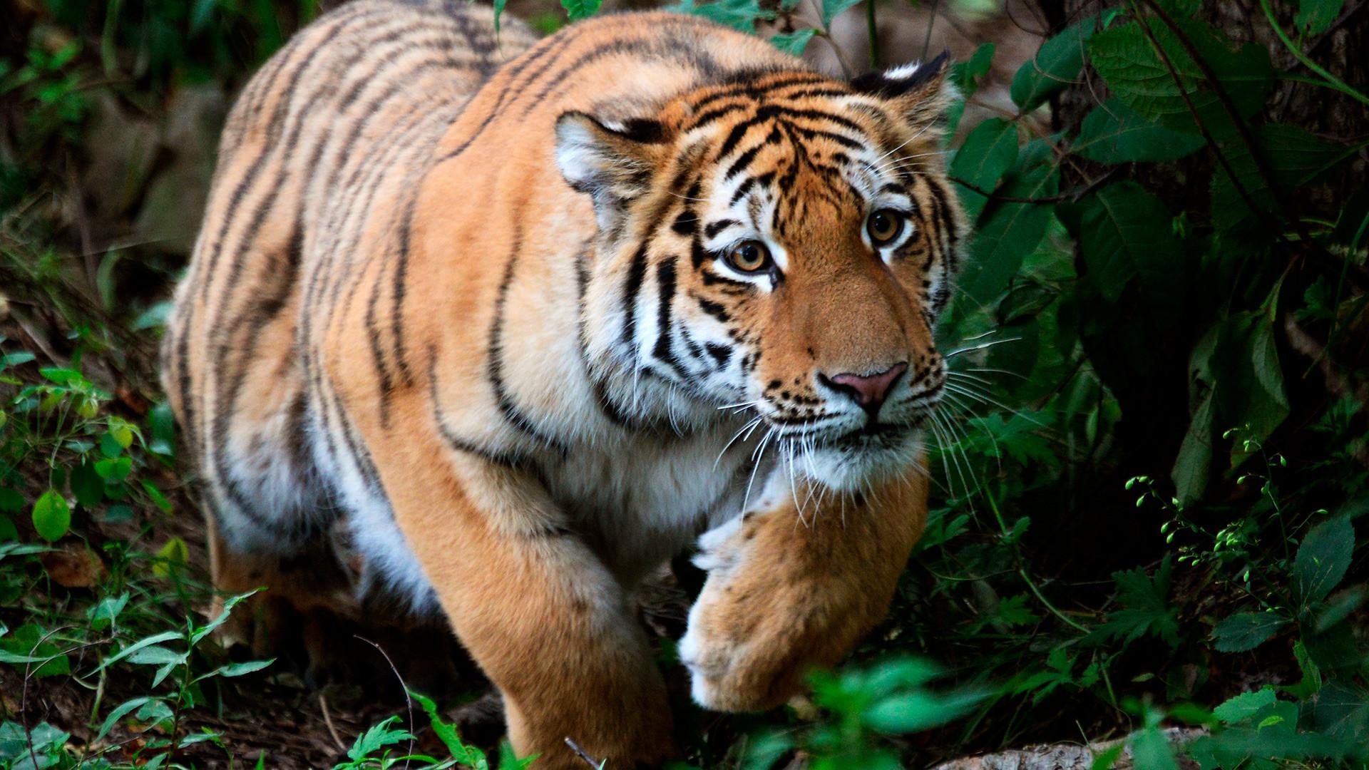 Тигар Шерхан стар десет месеци. Младунче чувеног амурског тигра Амура и тигрице Усури. Приморски сафари парк.