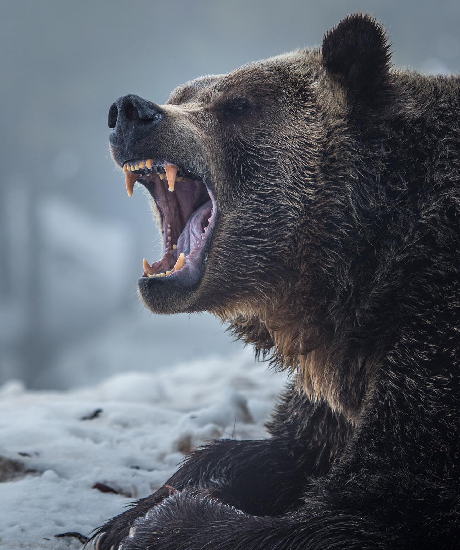 Grizli na snijegu.
