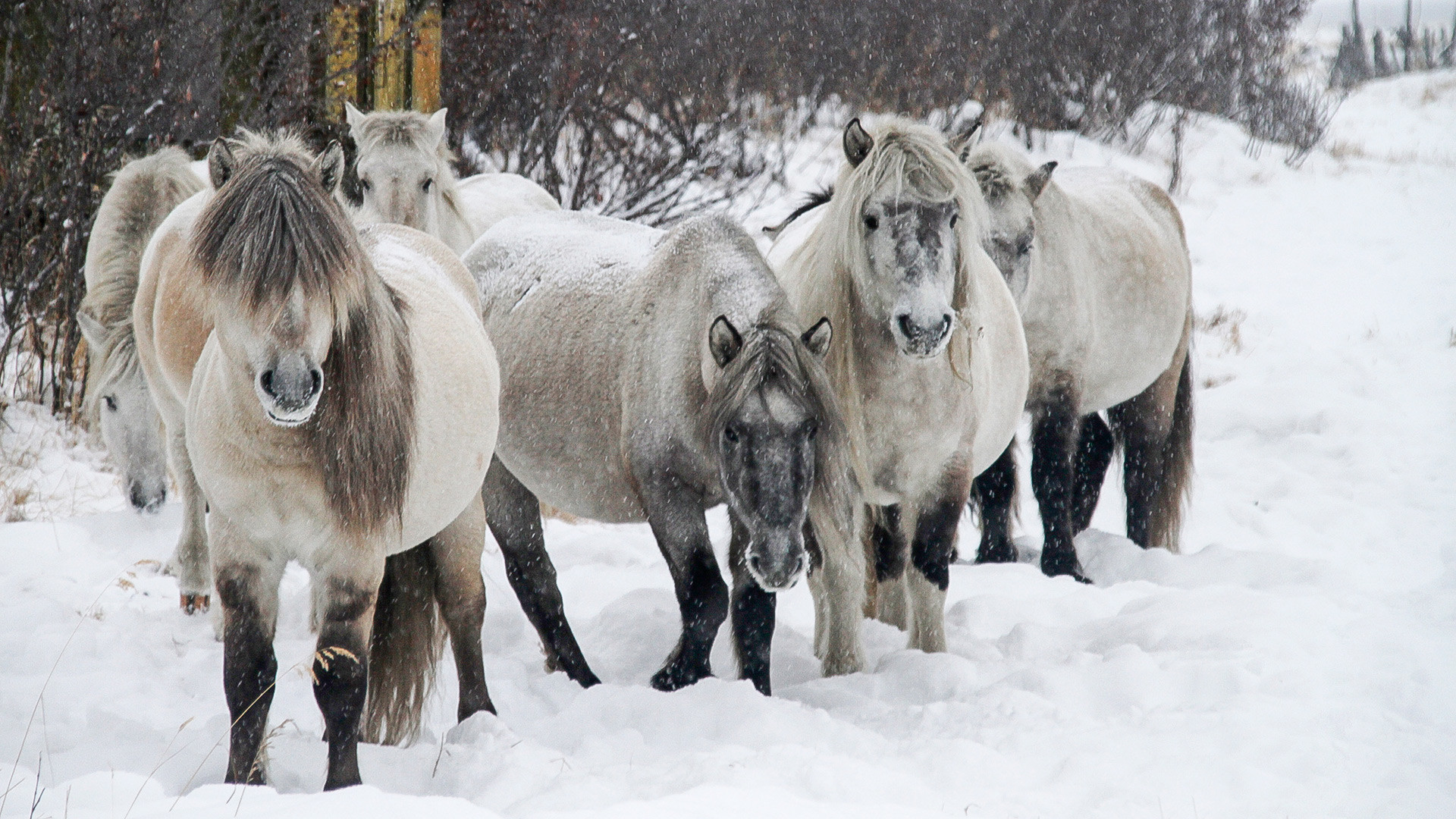 Yakut horses were the first animals that were brought to the Pleistocene Park.
