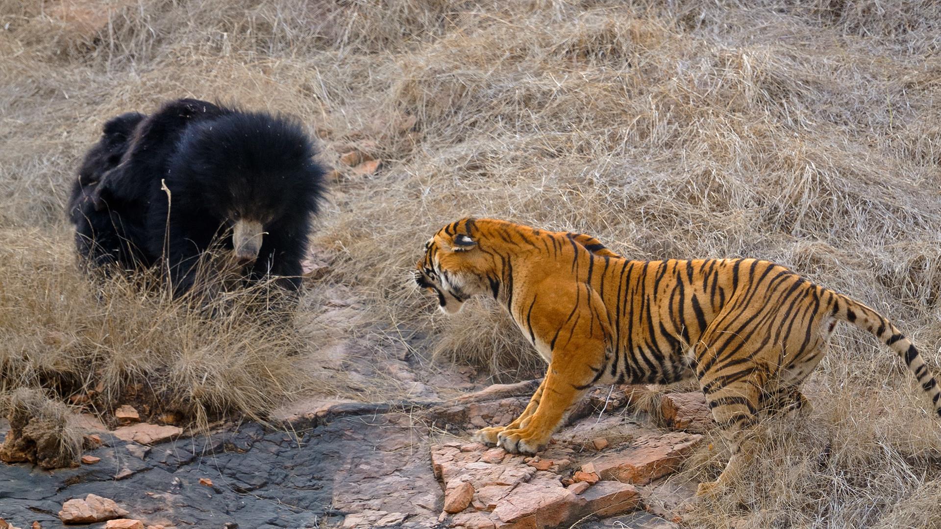 Beruang dan harimau bertarung.
