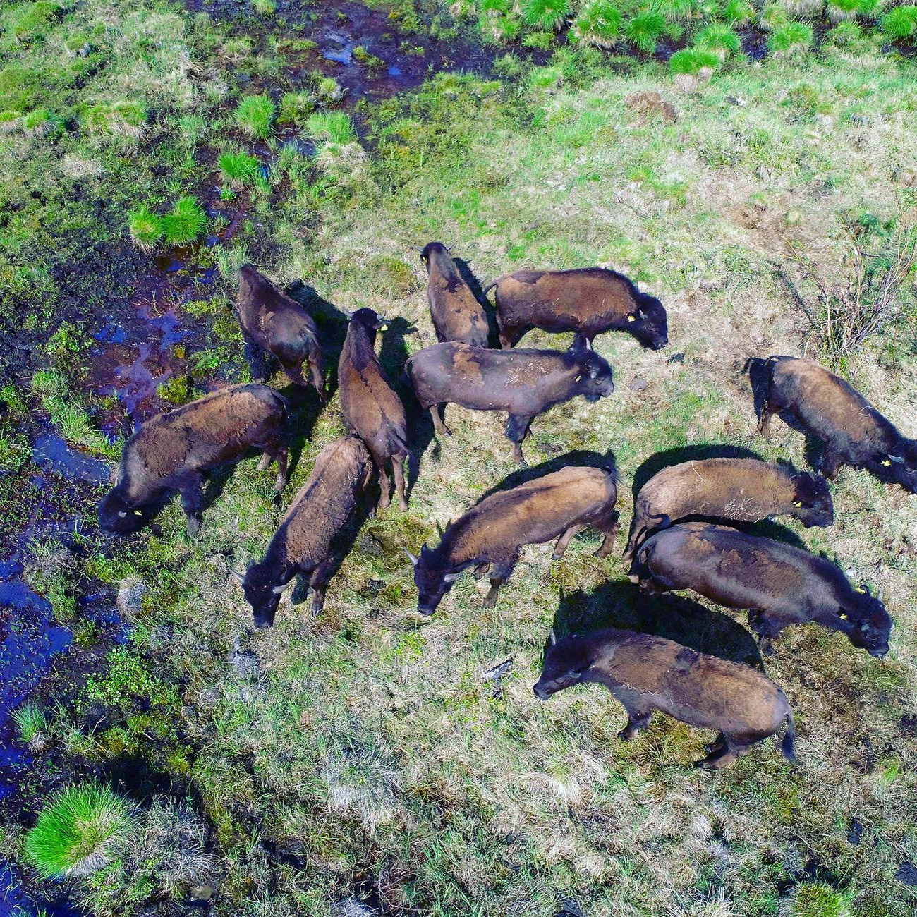 Pada 2019, Taman Pleistosen menyambut kerbau-kerbau stepa Amerika Utara yang kini telah beradaptasi dengan iklim setempat.