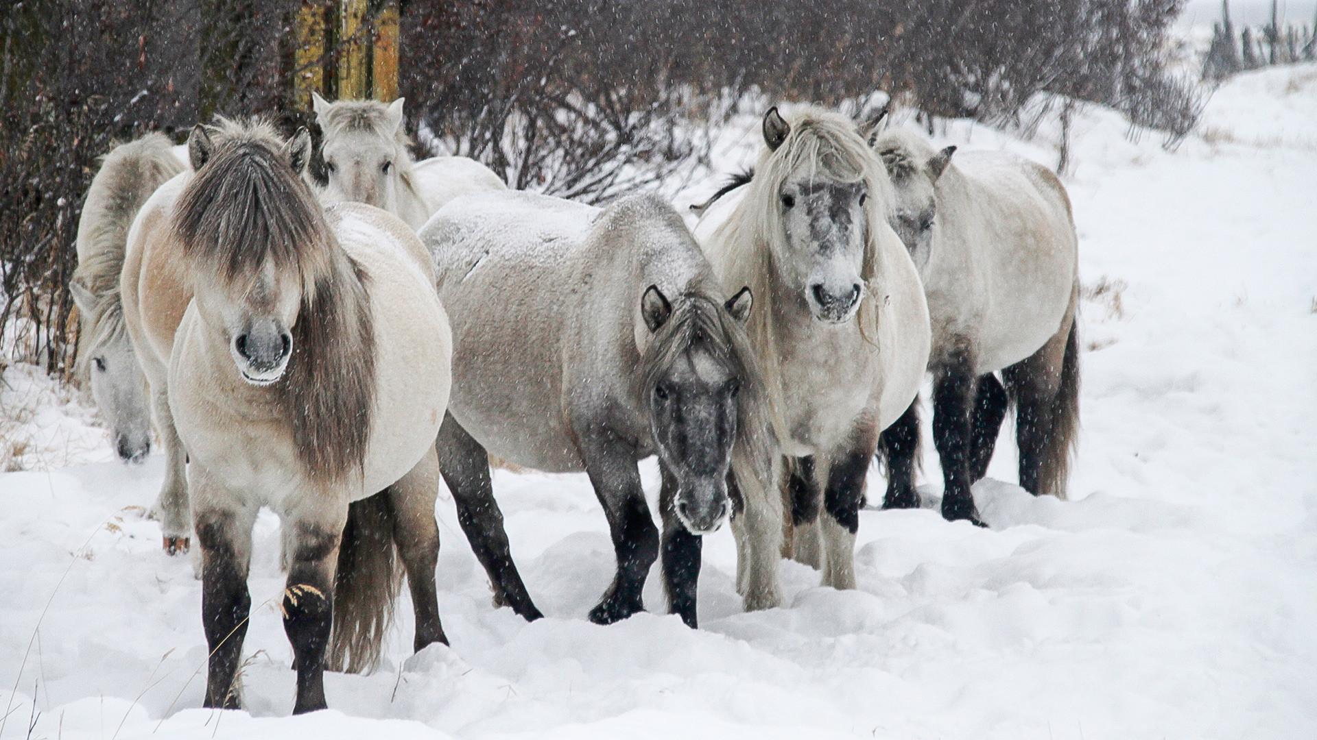 Kuda Yakut adalah hewan pertama yang dibawa ke Taman Pleistosen.