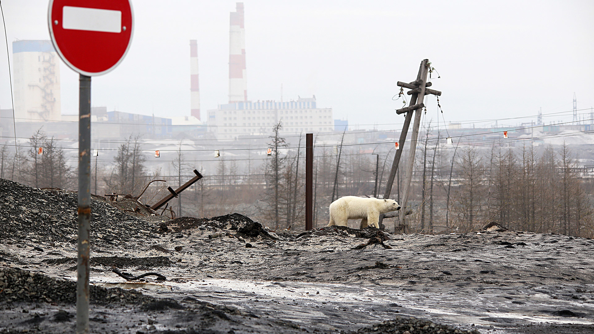 Un ours polaire aux abords de Norilsk