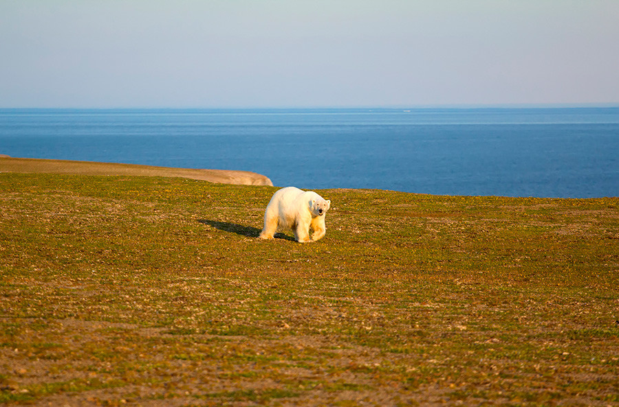 Белый медведь на суше в период полярного дня. Архипелаг Новая Земля,