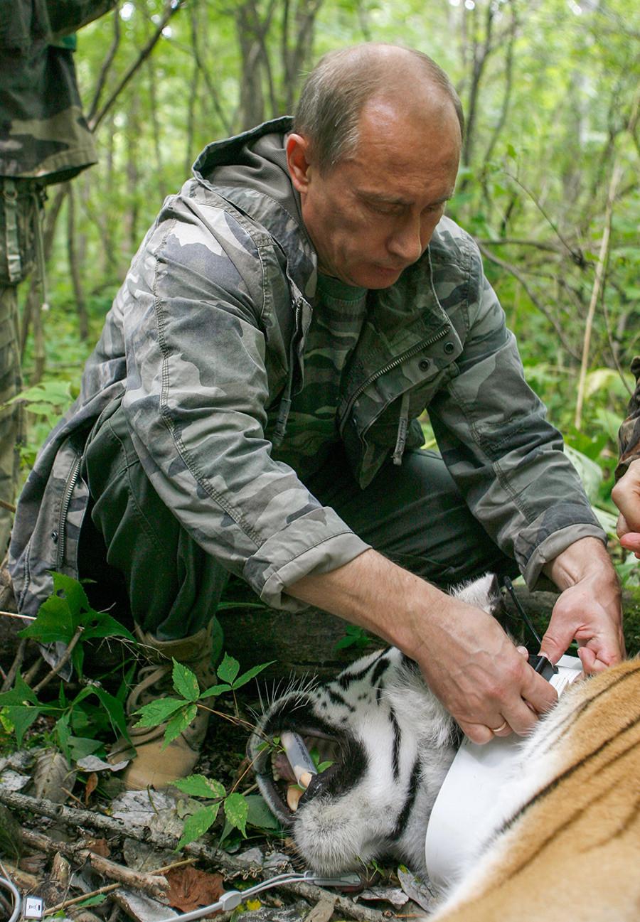 トラにGPSの首輪をつけているプーチン大統領、2008年8月31日