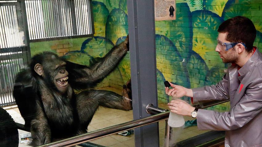 """Работник в частния интерактивен музей на науката """"Нютон парк"""" показва опити с течен азот на 11-годишно шимпанзе Анфиса в Красноярския зоопарк по време на записа на хумористично телевизионно предаване в навечерието на Деня на хумора."""