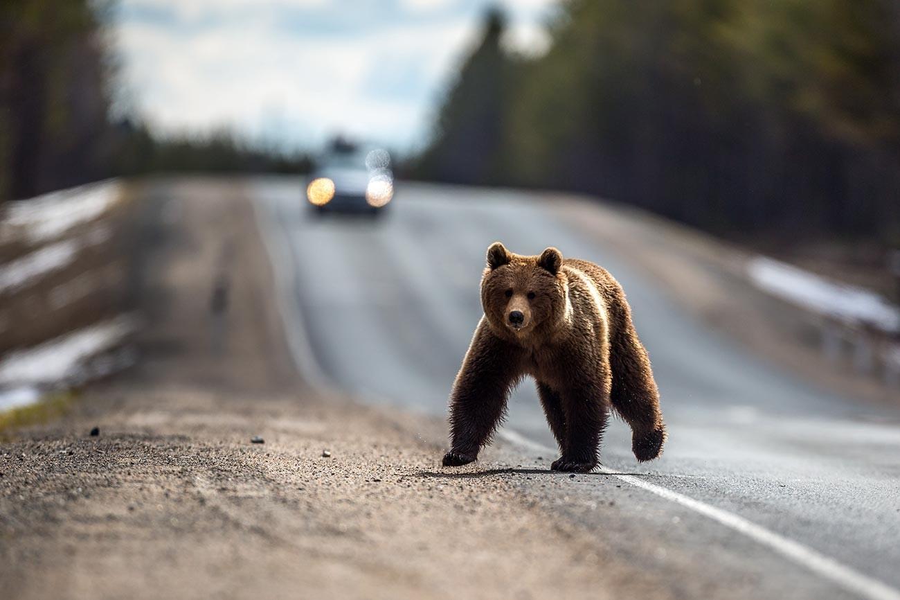 Кафява мечка след хибернация на федералния път Санкт Петербург - Мурманск близо до гр. Беломорск в Карелия