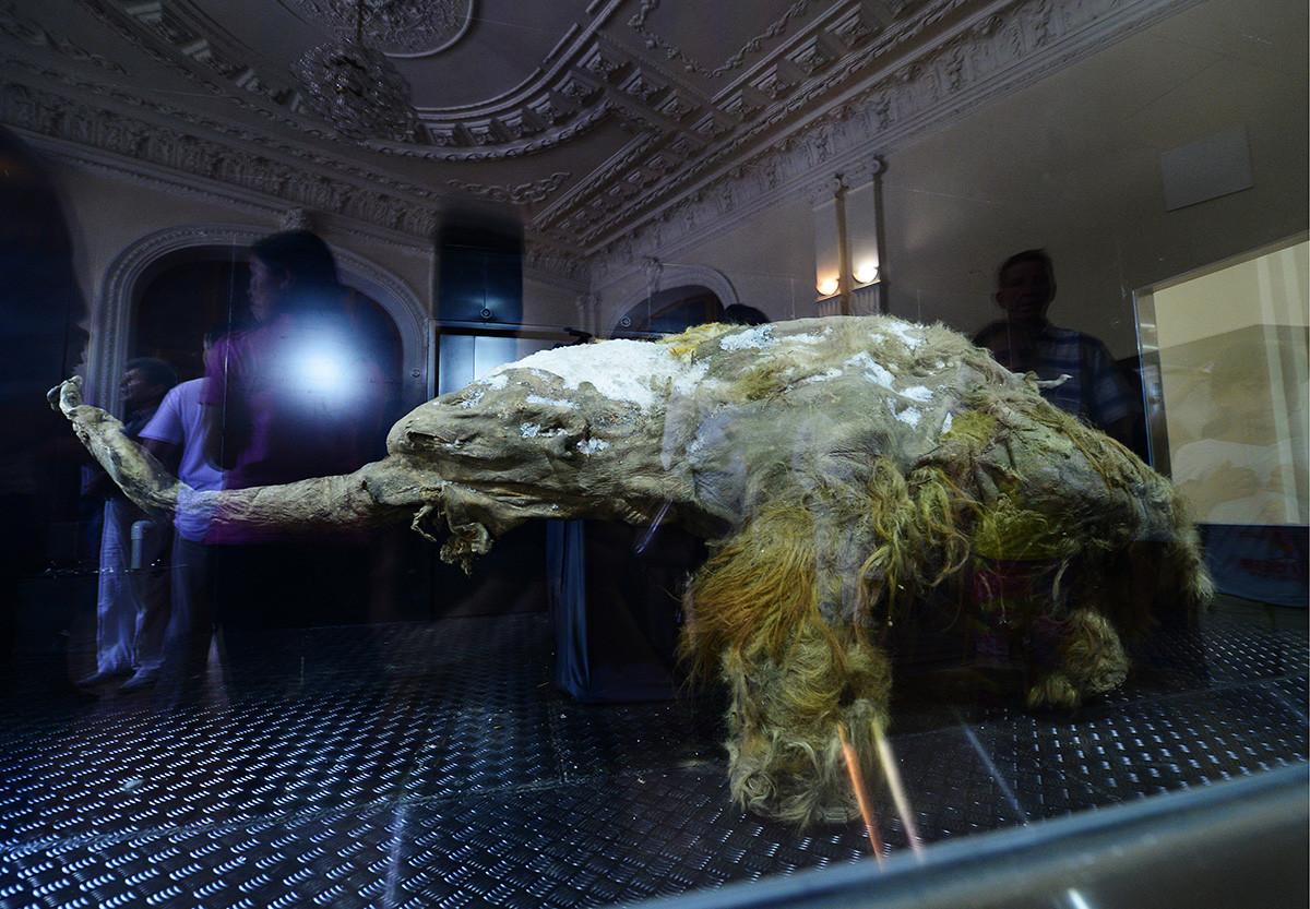 Les restes momifiés du mammouth Yuka exposés dans un environnement à basse température pour une exposition au Nouvel Ermitage, à Vladivostok. Yuka, le mammouth laineux sibérien le mieux préservé à ce jour, a été découvert dans le permafrost de Iakoutie en 2010.