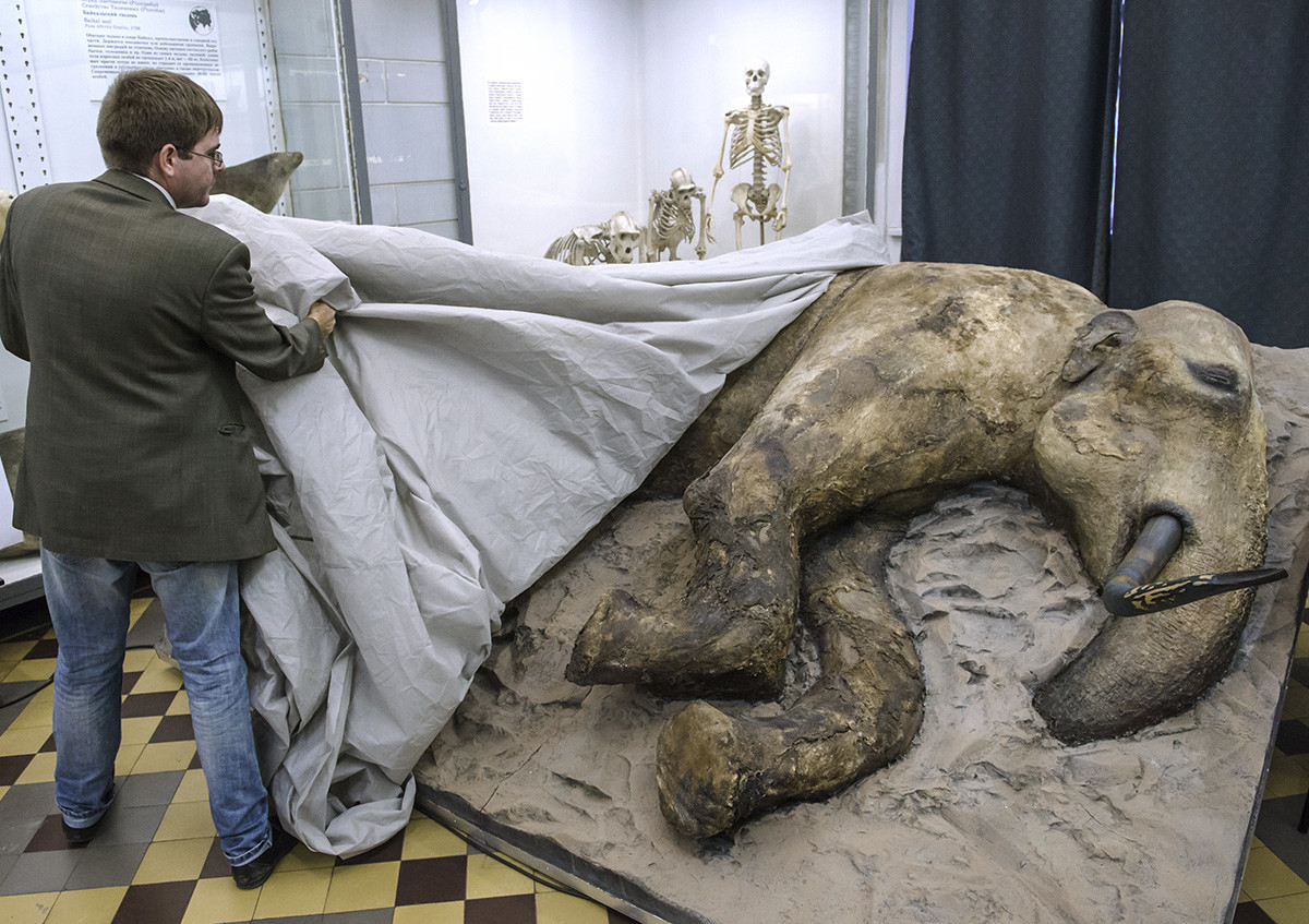 The presentation of a stuffed young mammoth male in St. Petersburg. The remains of a 15-year-old teenage mammoth were discovered in August 2012 at the mouth of the Yenisei River in Taimyr and are estimated to be about 30,000 years old.