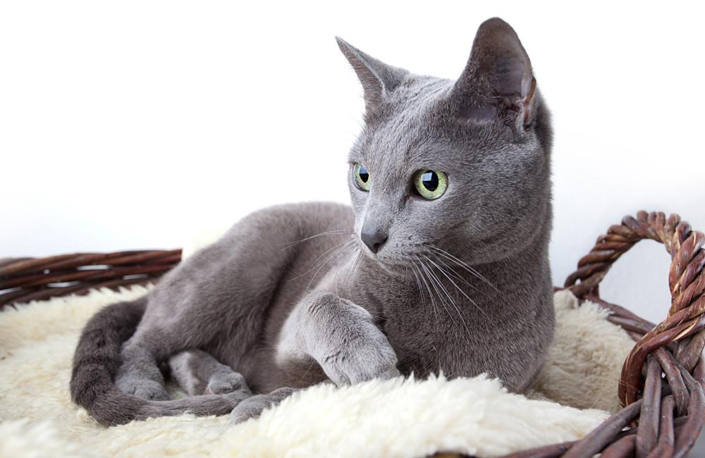 1. ロシアンブルーは、ロシア原産のネコでは最も人気の品種だ。伝説によれば、英国人水夫たちが青がかかった美しいグレーのネコをロシア北部の港市であるアルハンゲリスクから持ち帰ったという。