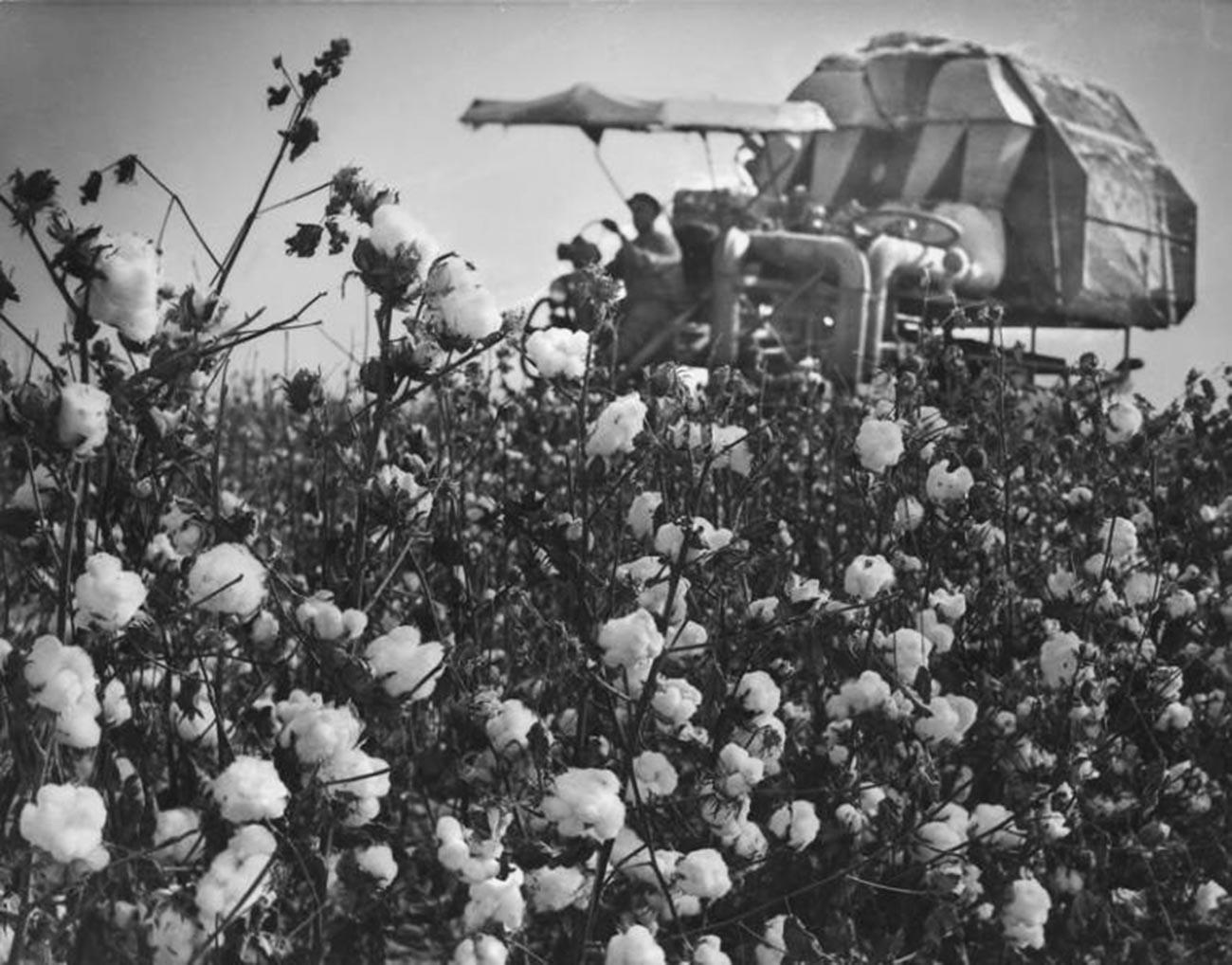 Ouzbékistan, récolte du coton, années 1970