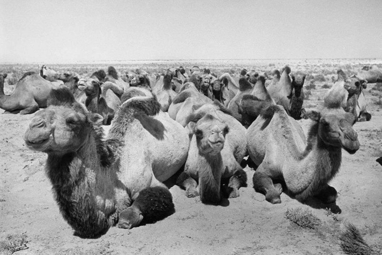 Chameaux dans les steppes du Kazakhstan, août 1952