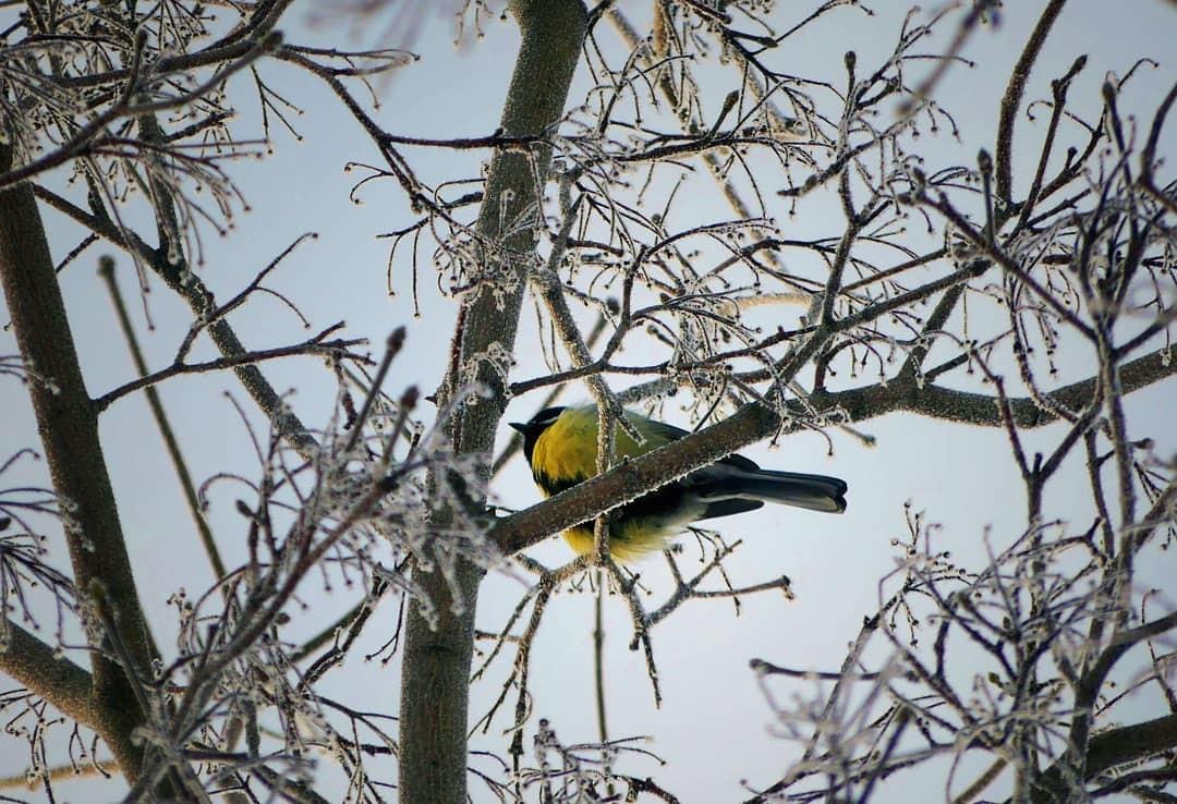 Une mésange sur un arbre givré