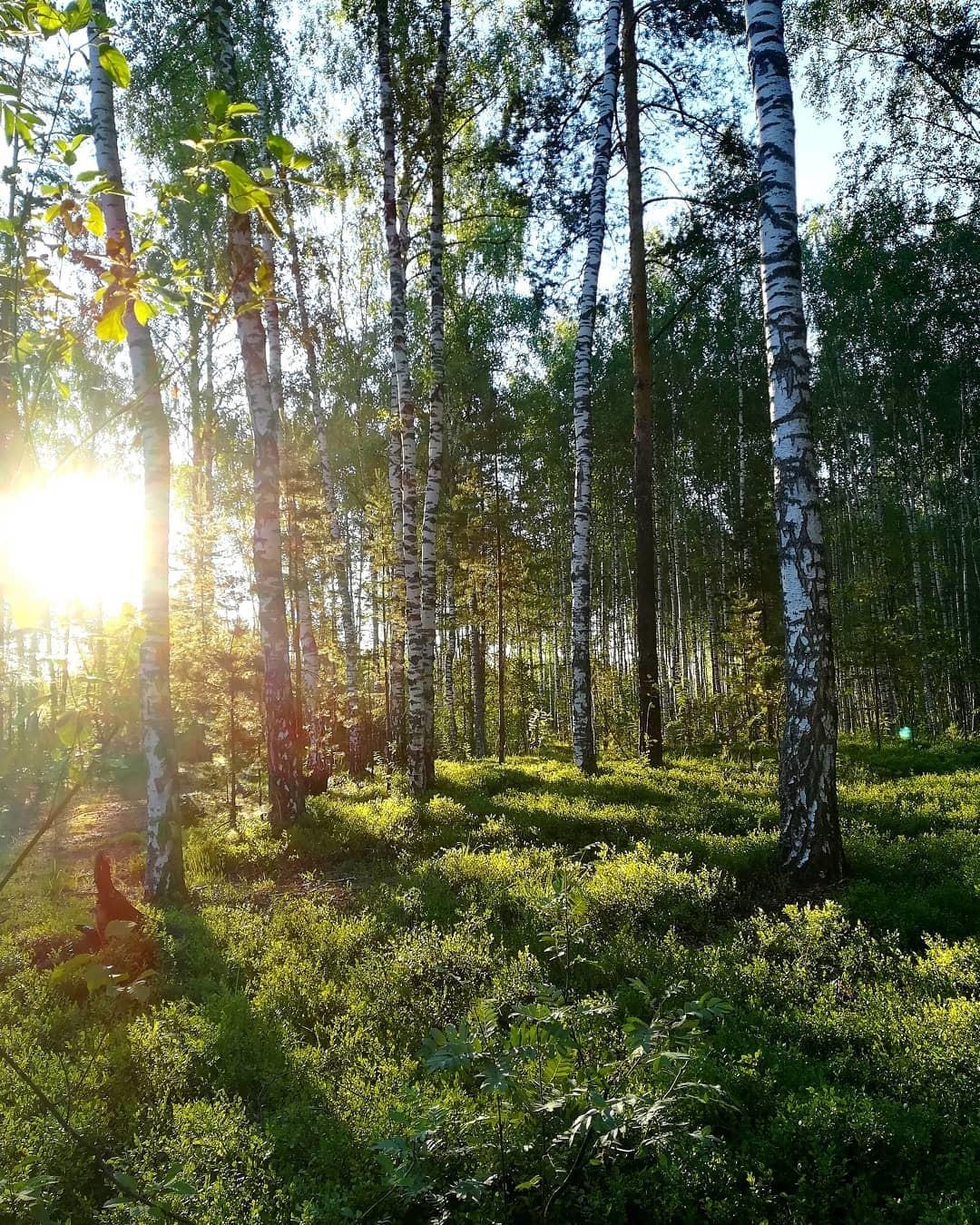La forêt de bouleaux à Zavoljié