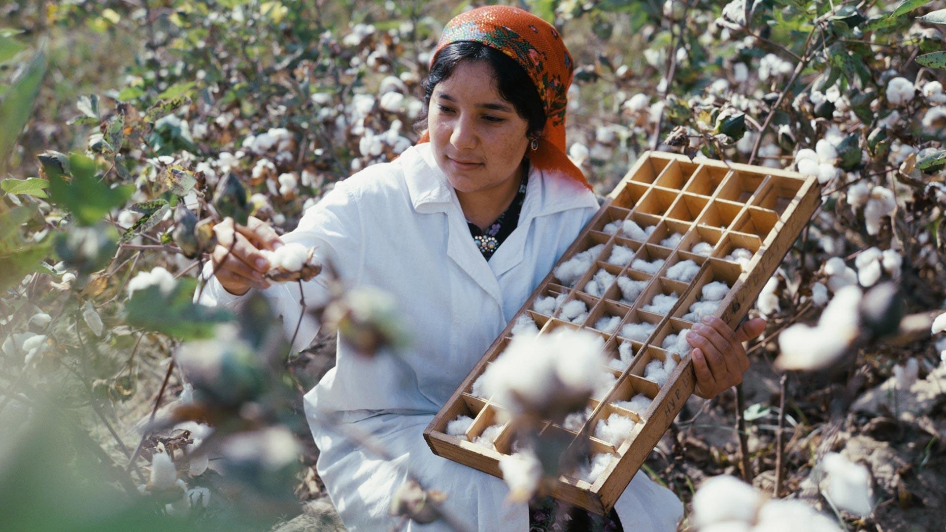 Таджикская ССР. Лаборантка Нурджемал Шаназарова работает с хлопчатником