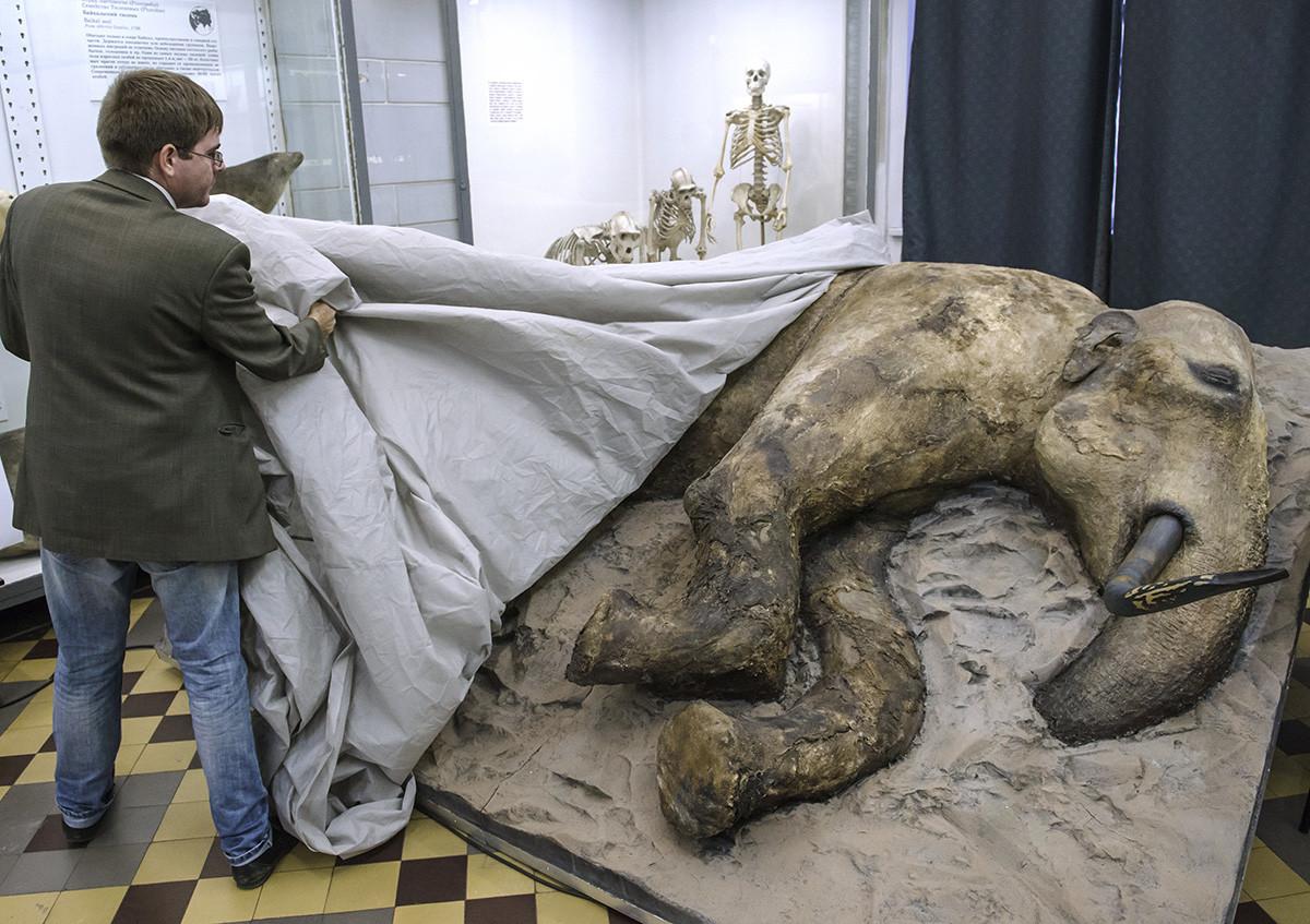 La presentazione di un giovane esemplare di mammut maschio imbalsamato a San Pietroburgo. I resti di questo mammut di 15 anni sono stati scoperti nell'agosto del 2012 sulla foce del fiume Enisej, nella penisola del Tajmyr,  e si stima che abbiano circa 30.000 anni