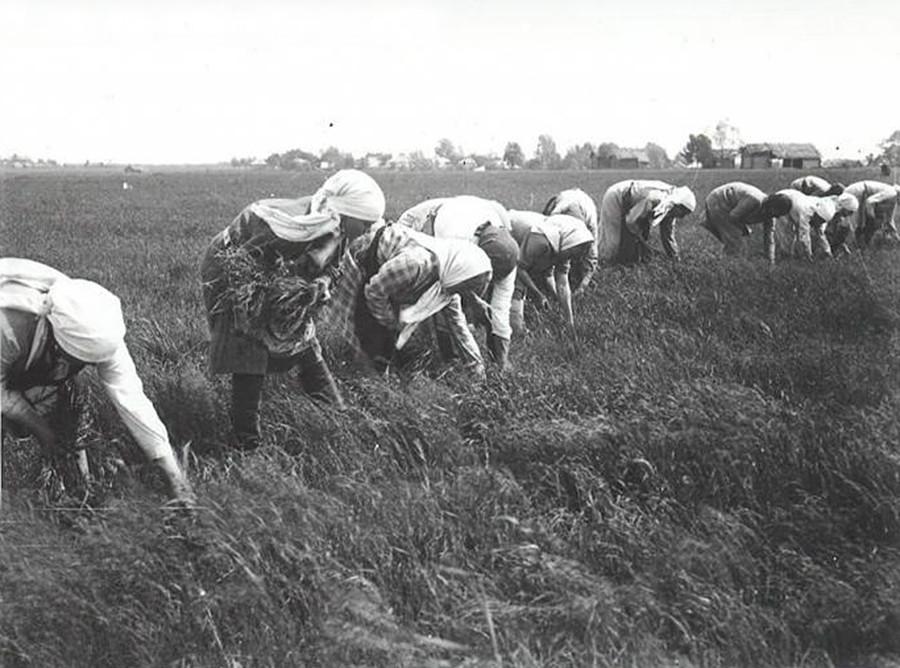 Petani di Rusia harus beradaptasi dengan musim panas yang pendek dengan waktu bertani yang sangat terbatas.