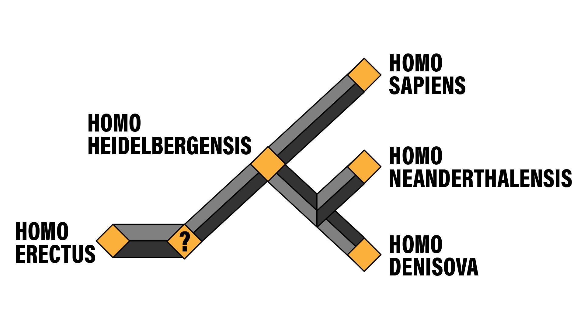 Árvore genealógica aproximada do Homo sapiens e seus predecessores.