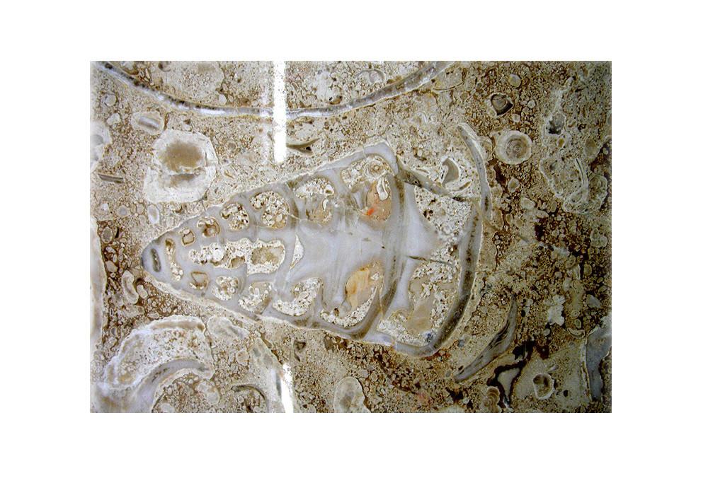 結晶質石灰岩の色は薄いから、化石を見つけるのは結構難しい。写真だと特に。詳細に観察するための唯一の方法は、画像のコントラストを高めること。この写真では殻も細部もはっきり見える。/地下鉄トルブナヤ駅