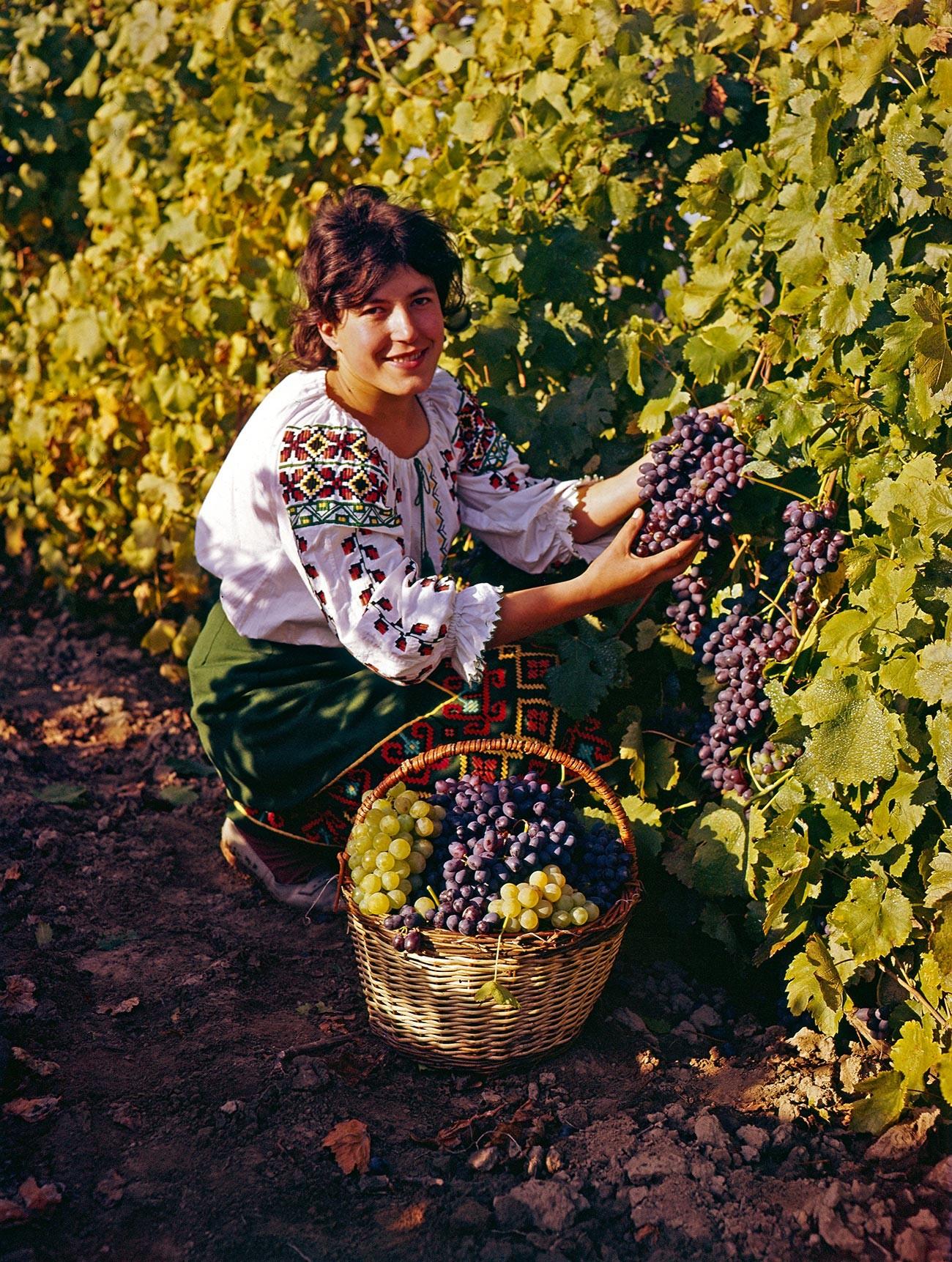 Cosecha de uva en la República Socialista Soviética de Moldavia, 1972.